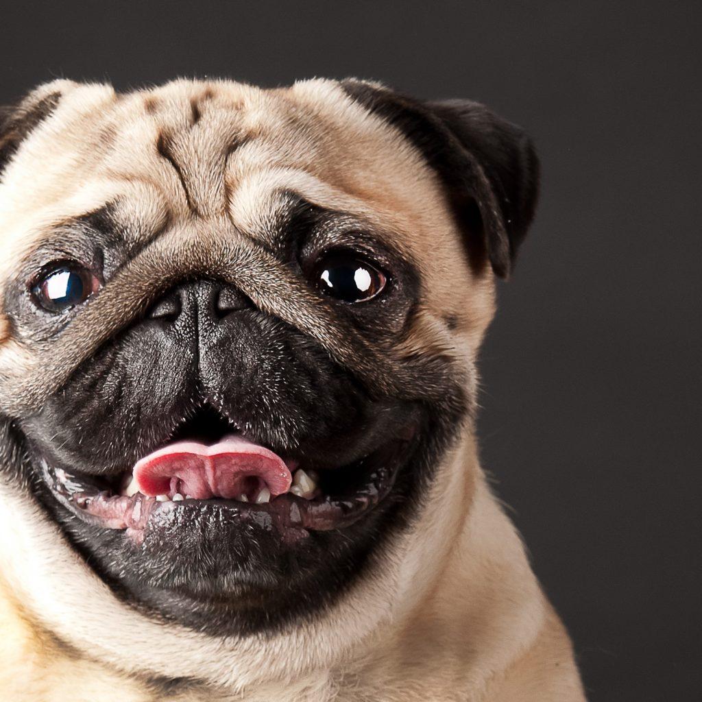 Pug Face 1
