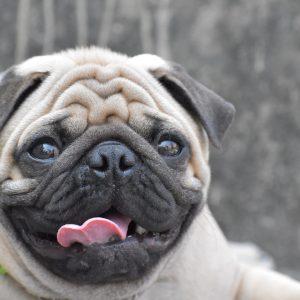 Pug Panting scaled