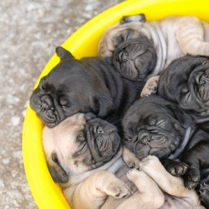Pug Puppies in a Bowl