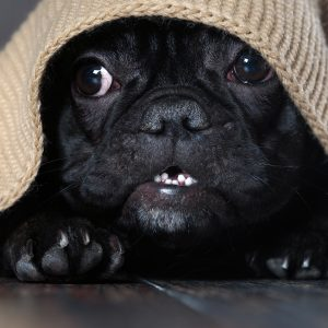 Pug Separation Anxiety