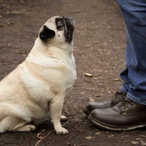 Pug Sit