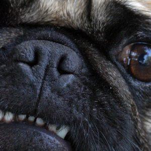 Pug Teeth