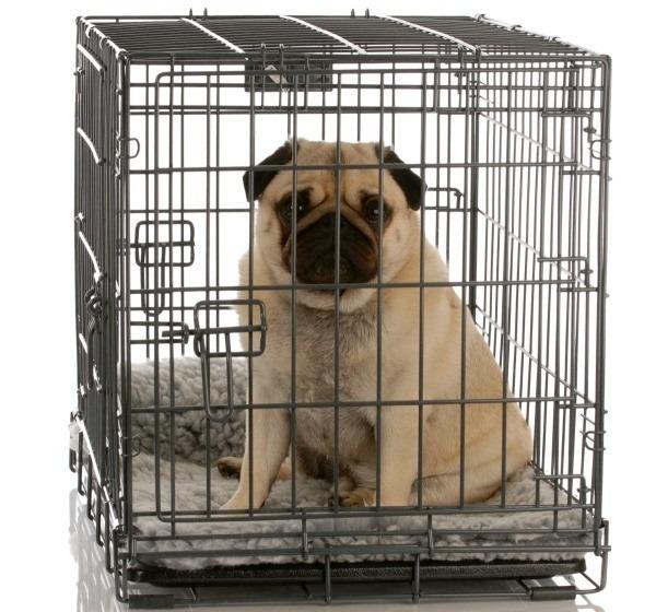 Pug in Crate 1