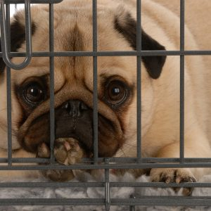 Pug in Crate