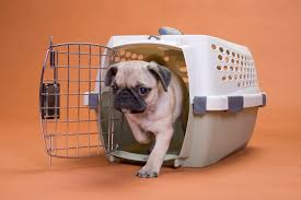 Pug puppy in crate