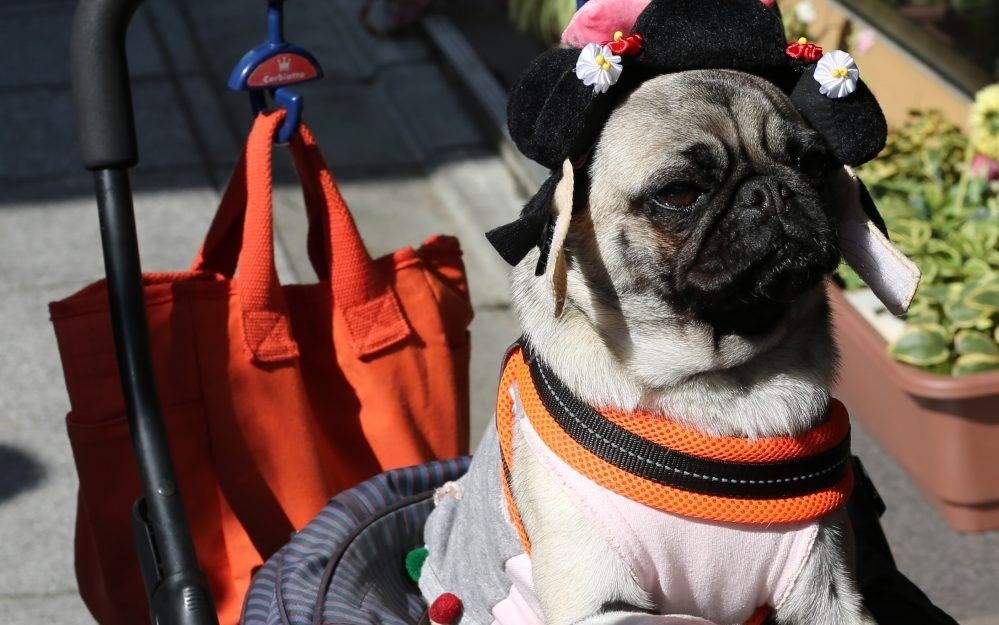 Pug in Stroller