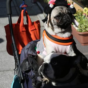 Pug in stroller a