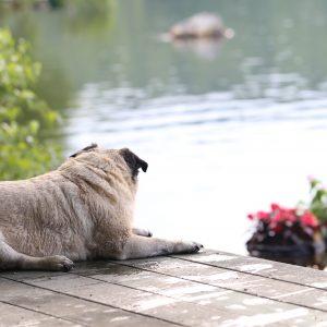 Pug on Dock