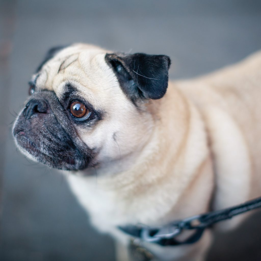 Pug on Front Leash
