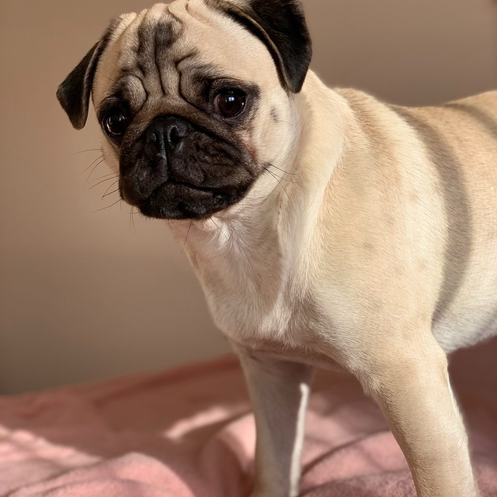Pug on Pink Bed