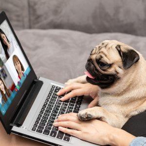 Pug on Zoom