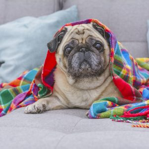 Pug with Colored Blanket