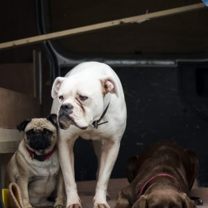 Pug with Other Dogs 1