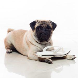 Pug with Sandal