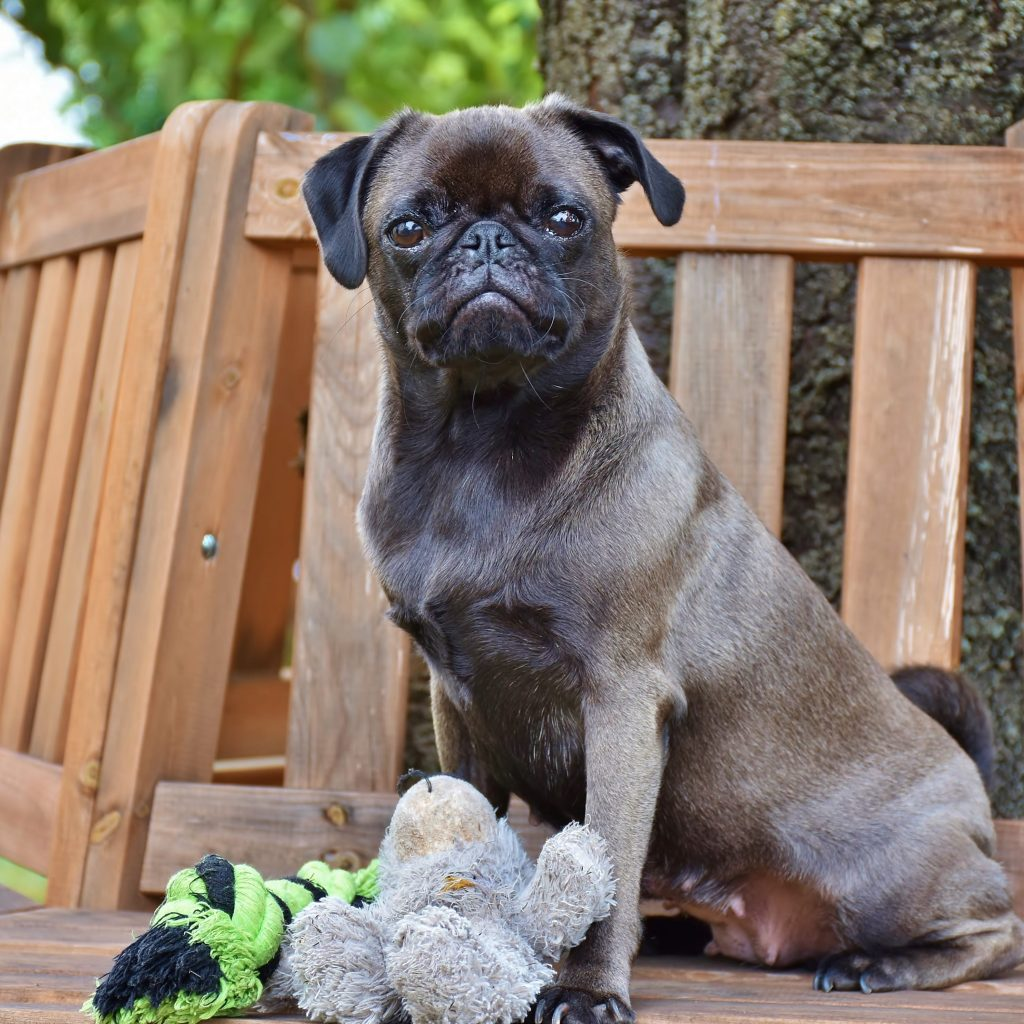 Pug with Toy 2