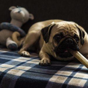 Pug with bone