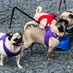 Pugs Together