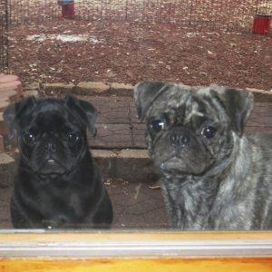 Pugs at Window