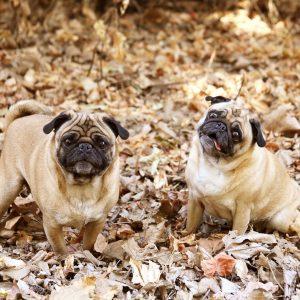 Pugs in leaves 1
