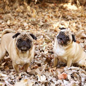 Pugs in leaves