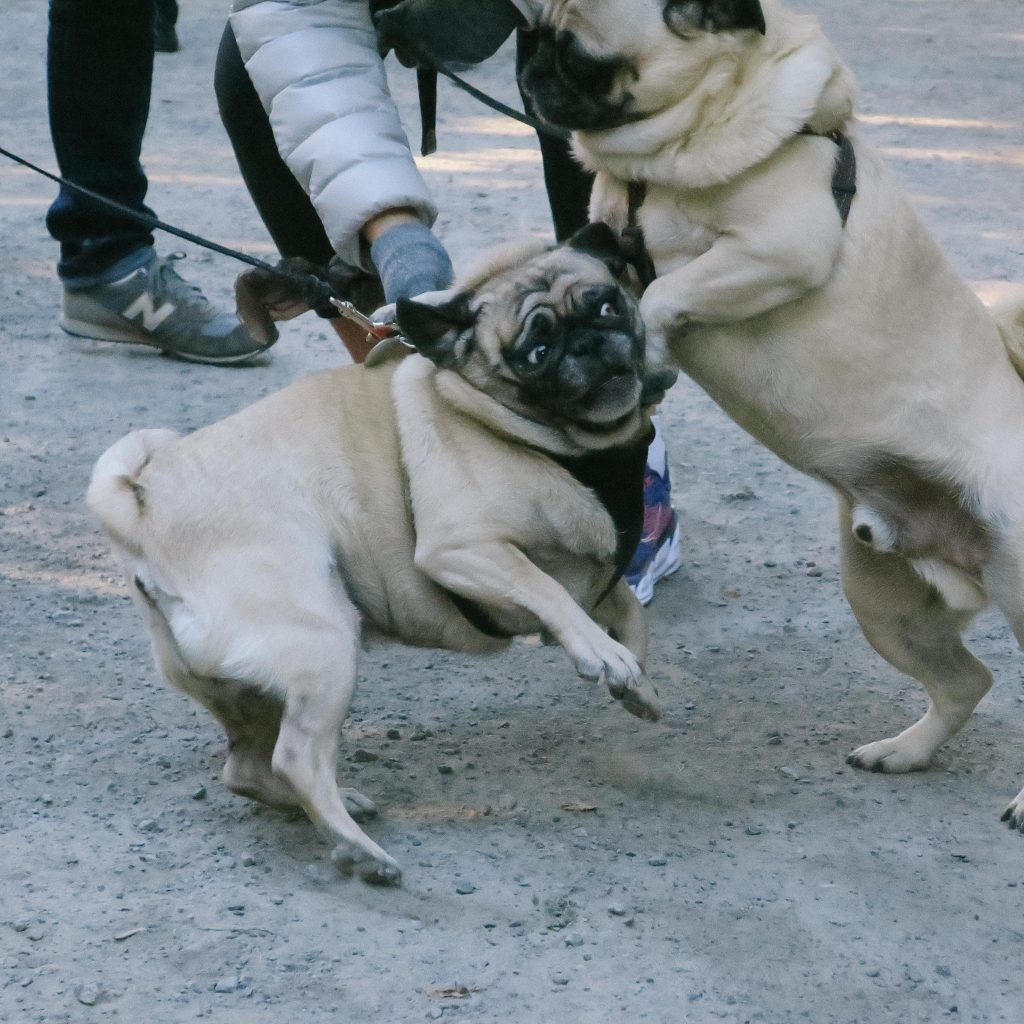 Pugs with tangled leashes