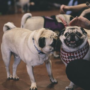 Pugs with Humans