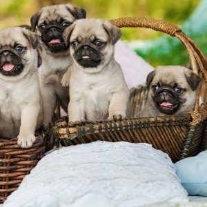 Puppies in a Basket cropped