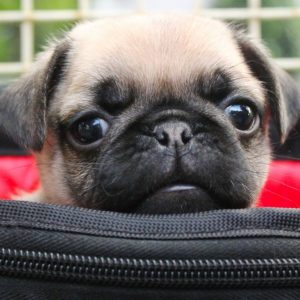 Puppy in Bag