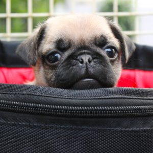 Pug Puppy in Bag