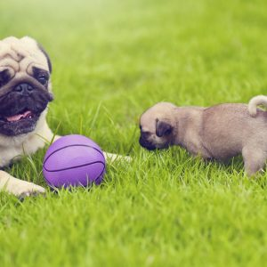 Pug Puppy with toy