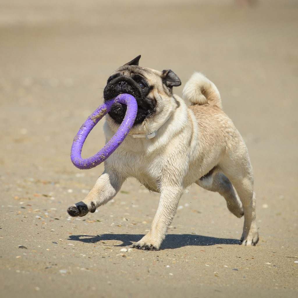 Pug with Purple Ring