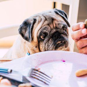 Senior Pug begging