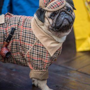 Sherlock Holmes Pug