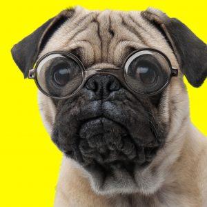 Smart Pug in Glasses