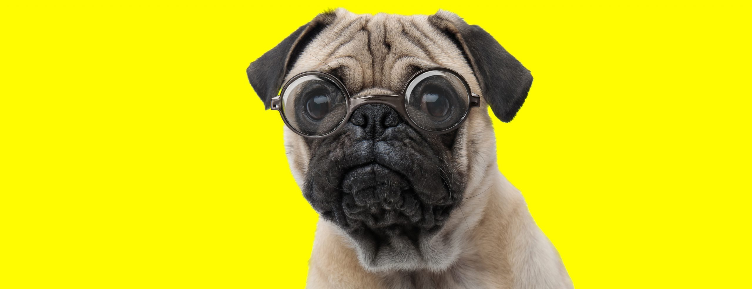 Smart Pug in Glasses scaled