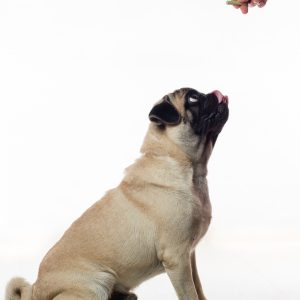 Snack for Pug