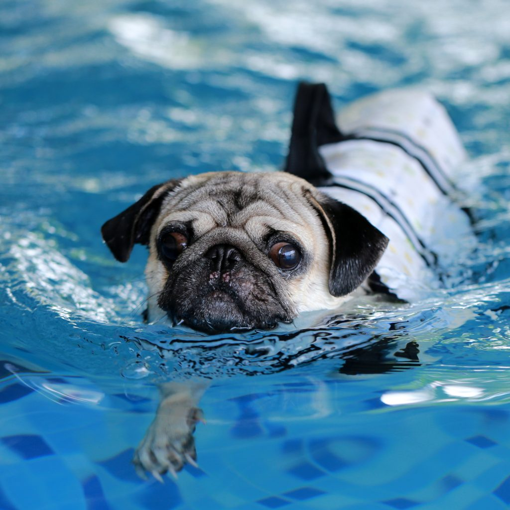 Can Pugs Swim