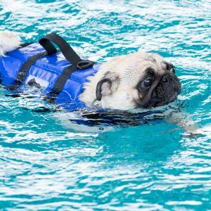 Swimming Pug