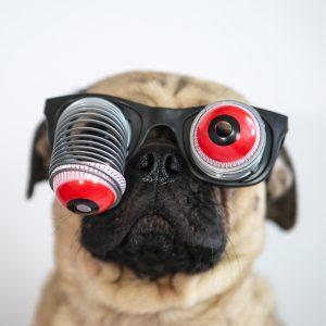 Pug eyes pop out
