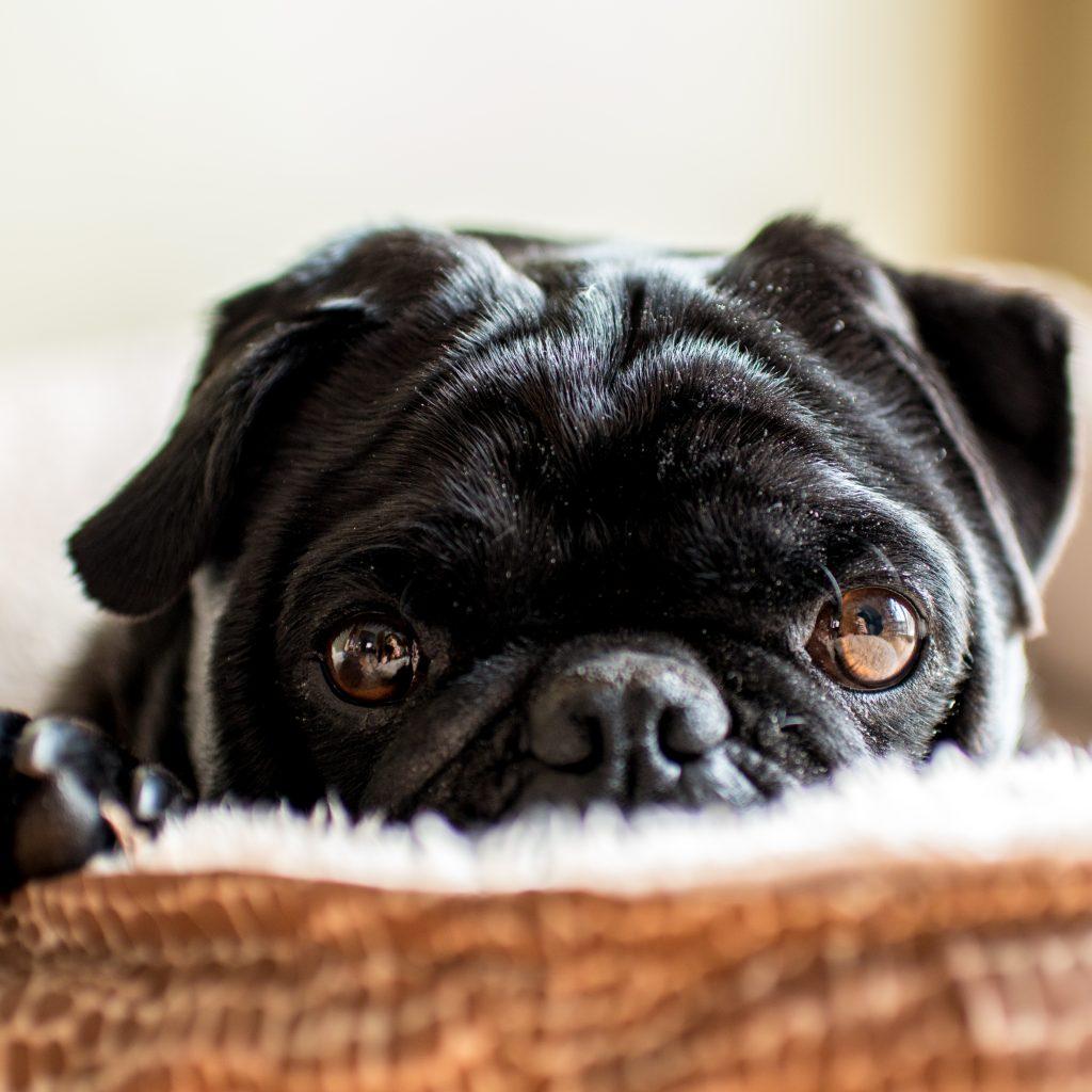 Up Close Black Pug