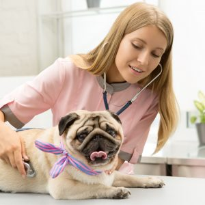 Vet with Bow Pug