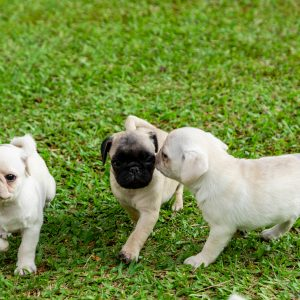 White and Fawn Puppies