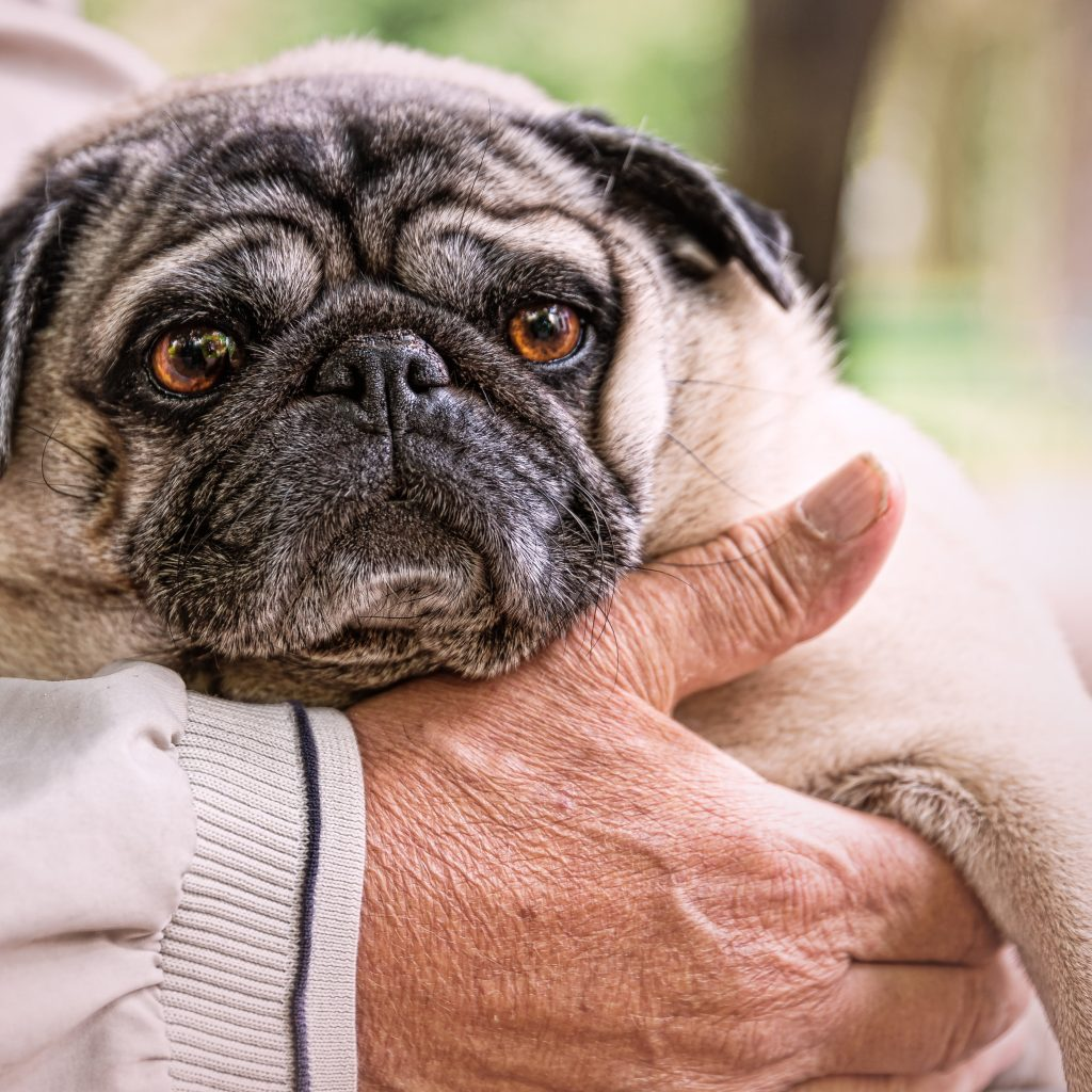 Worried Pug with Man