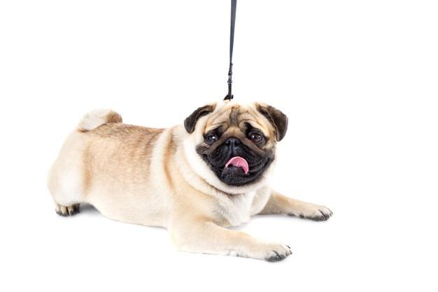 dog pug white background leash 112628 53