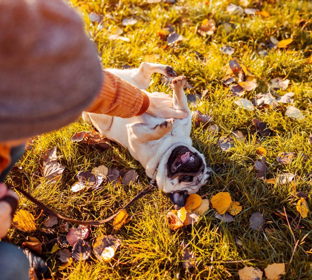 Pug Playing on Leash