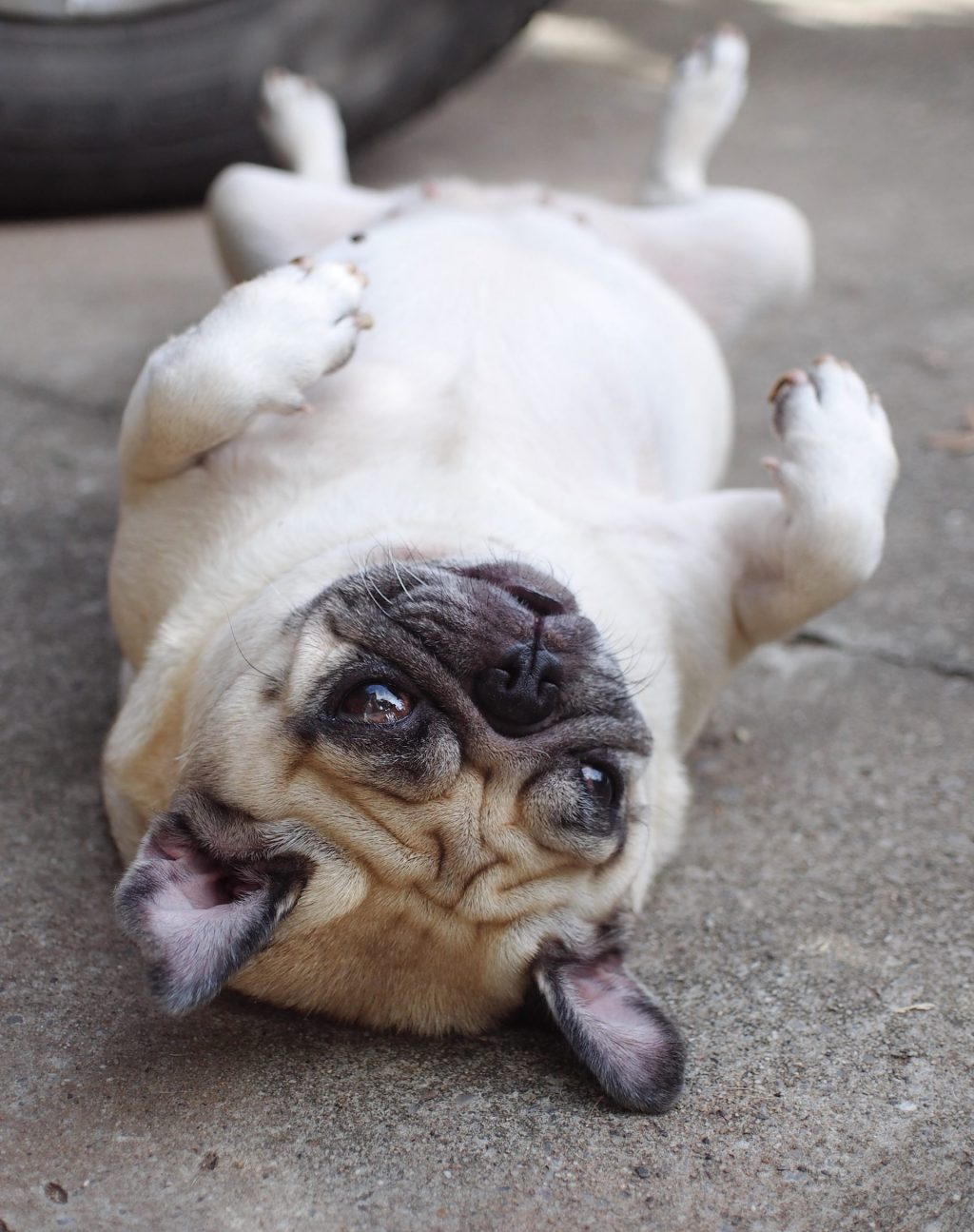 Pug Rolling Over