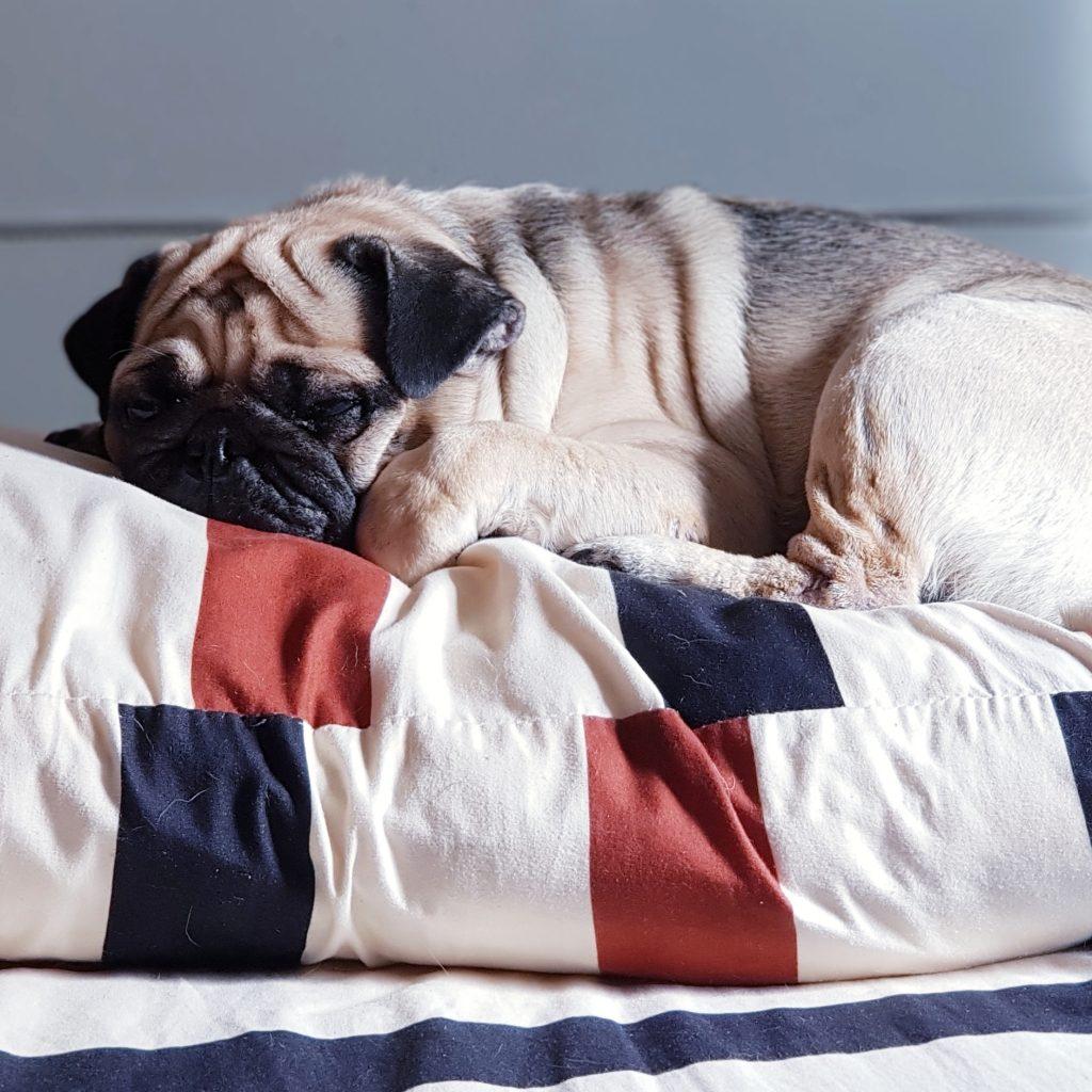 Pug Sleeping on Pillow