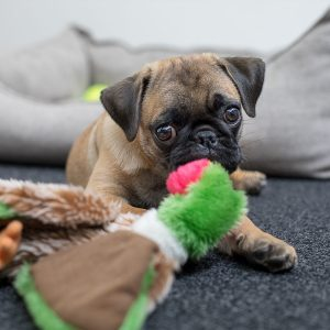 Pug with Toy