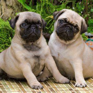 puppies Pug