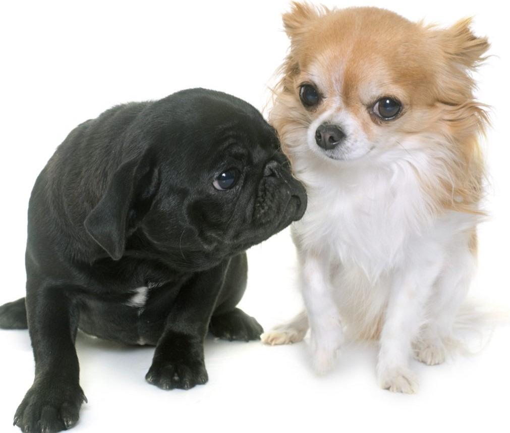 puppy-black-pug-chihuahua